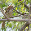 Brown Thrasher <br /> Tower Grove Park