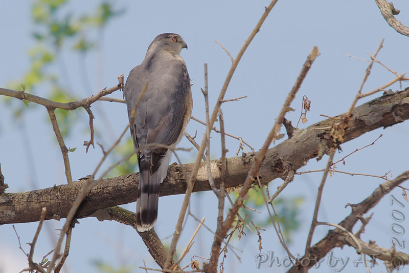 Cooper's Hawk <br /> Tower Grove Park