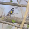 Yellow-rumped Warbler (Myrtle's)  (Male)<br /> Unger County Park