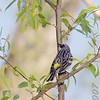 Yellow-rumped Warbler (Male)<br /> Unger County Park