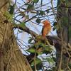 Summer Tanager (Male)<br /> Castlewood SP