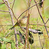 Palm Warbler <br /> St. Clair, Mo.