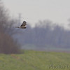 Northern Harrier<br /> RMBS