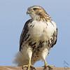 Red-tailed Hawk<br /> Bridgeton