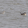 Horned Grebe and Ruddy Duck<br /> RMBS