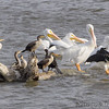 Double-crested Cormorants and American White Pelicans<br /> RMBS