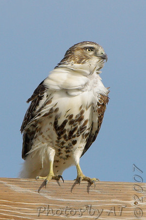Red-tailed Hawk Bridgeton Very windy day.