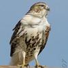 Red-tailed Hawk<br /> Bridgeton<br /> Very windy day.