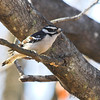 Downy Woodpecker <br /> City of Bridgeton <br /> St. Louis County, Missouri <br /> 2007-12-25