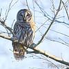 Barred Owl <br /> Few miles north of Cuba, Mo.