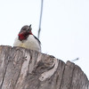 Red-headed Woodpecker <br /> Route 66 State Park <br /> Times Beach