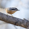 Red-breasted Nuthatch <br /> City of Bridgeton <br /> St. Louis County, Missouri <br /> 2007-12-25