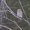 Barred Owl <br /> Route 66 State Park <br /> Times Beach