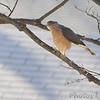 Cooper's Hawk <br /> City of Bridgeton <br /> St. Louis County, Missouri <br /> 2007-12-29