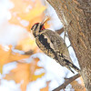 Yellow-bellied Sapsucker<br /> Bridgeton, Mo.
