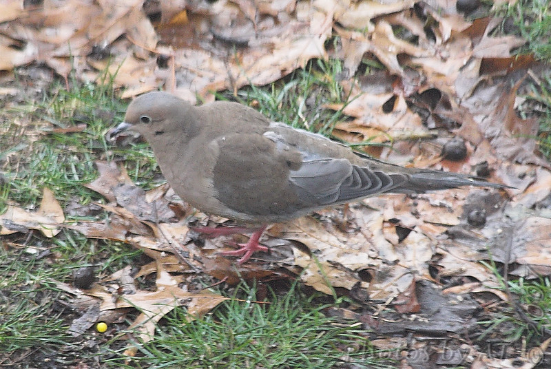 Mourning Dove<br /> Bridgeton, Mo.