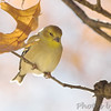 American Goldfinch<br /> Bridgeton, Mo.
