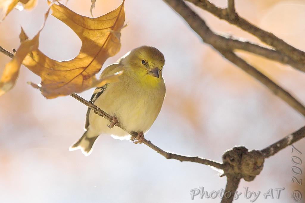 American Goldfinch<br /> Bridgeton, Mo.