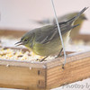 Pine Warbler (female) <br /> Bridgeton, Mo. <br /> <br /> No. 180 on my Lifetime List of Birds <br /> Photographed in Missouri.