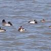 Common Goldeneye and Ring-necked Ducks <br /> Riverlands Migratory Bird Sanctuary <br /> 2007-01-26