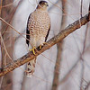 Cooper's Hawk <br /> Columbia Bottoms Conservation Area <br /> 2007-01-03