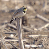 Horned Lark <br /> Road to Confluence <br /> 2007-01-26