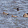 Gadwall <br /> Riverlands Migratory Bird Sanctuary <br /> 2007-01-26