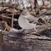 Northern Mockingbird <br /> Busch Wildlife Area <br /> 2/19/07