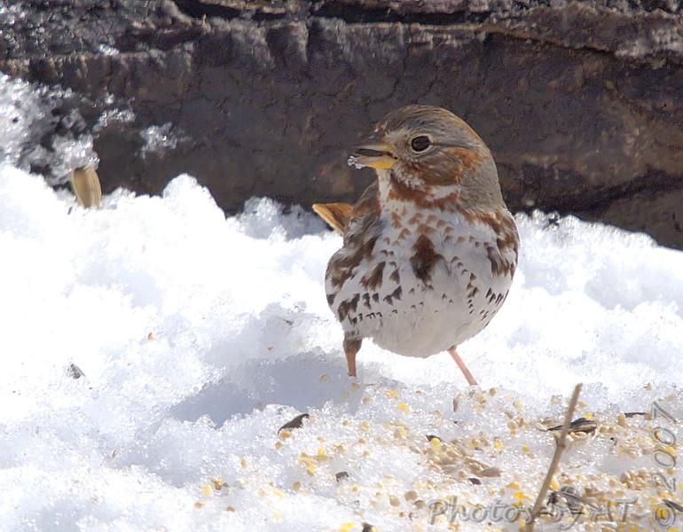 Fox Sparrow<br /> Busch Wildlife Area <br /> 2/19/07