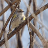 Yellow-rumped Warbler (Myrtle's) <br /> Bridgeton, MO <br /> 2/23/07