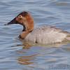 Canvasback (Female) <br /> Riverlands Migratory Bird Sanctuary <br /> 2/22/07