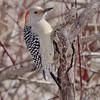 Red-bellied Woodpecker<br /> Busch Wildlife Area <br /> 2/19/07