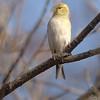 American Goldfinch <br /> Bridgeton, MO <br /> 2/20/07
