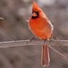 Northern Cardinal<br /> Busch Wildlife Area <br /> 2/19/07