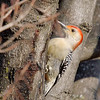 Red-bellied Woodpecker <br /> Bridgeton, MO <br /> 2/20/07