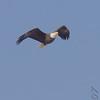 Bald Eagle<br /> Riverlands Migratory Bird Sanctuary <br /> 2/11/07