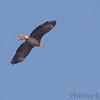 Bald Eagle <br /> Riverlands Migratory Bird Sanctuary <br /> 2/11/07
