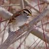 White-throated Sparrow<br /> Busch Wildlife Area <br /> 2/19/07