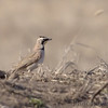Horned Lark<br /> Road to Confluence  <br /> Riverlands Migratory Bird Sanctuary <br /> 2/11/07