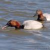 Canvasback <br /> Riverlands Migratory Bird Sanctuary <br /> 2/22/07