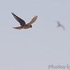 American Kestral<br /> Riverlands Migratory Bird Sanctuary