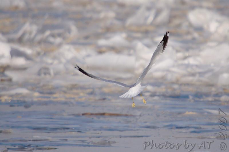 Ring-billed Gull<br /> Riverlands Migratory Bird Sanctuary <br /> 2/11/07