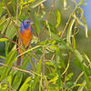 Painted Bunting<br /> Katy Trail Access<br /> Weldon Springs CA