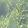 Common Yellowthroat <br /> Katy Trail Access<br /> Weldon Springs CA