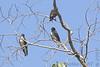 Purple Martins <br /> Busch Wildlife CA<br /> Lake 6