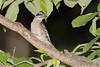 Dowey Woodpecker <br /> City of Bridgeton <br /> St. Louis County, Missouri <br /> 2007-07-04