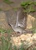 Chipping Sparrow <br /> City of Bridgeton <br /> St. Louis County, Missouri <br /> 2007-07-04