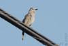 Gray Catbird <br /> City of Bridgeton <br /> St. Louis County, Missouri <br /> 2007-07-13