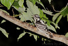 Dowey Woodpecke<br /> City of Bridgeton <br /> St. Louis County, Missouri <br /> 2007-07-04