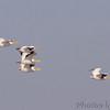 American White Pelicans<br /> Riverlands Migratory Bird Sanctuary